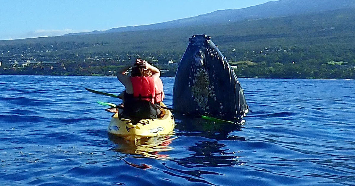Maui Whale Freaks-Out Kayakers!