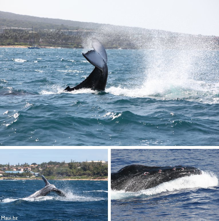 whales in Maui Hawaii