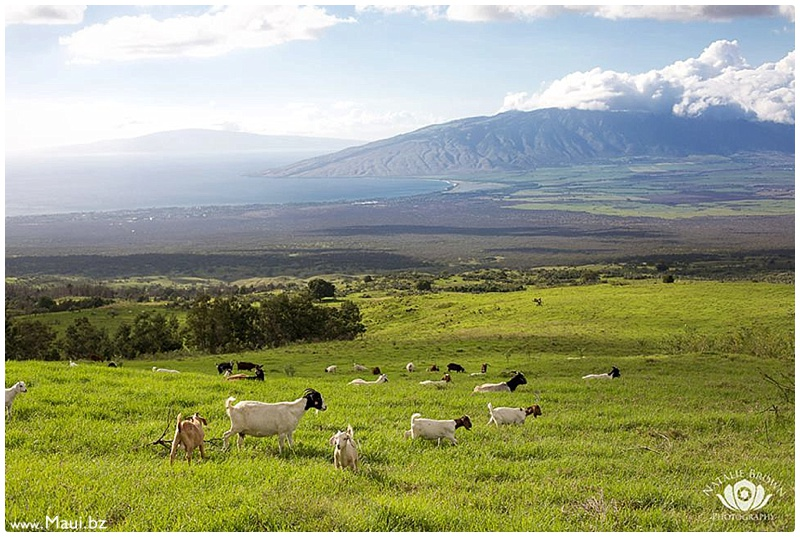 maui upcountry events