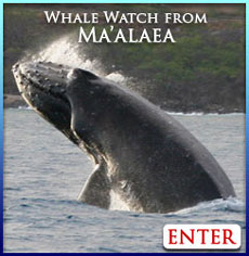 Maalaea whale watch