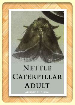 Nettle Caterpillar adult