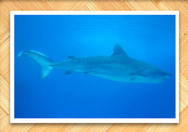 Maui Shark Info | Sharks in Maui, Hawaii | Tiger, Reef, Mako