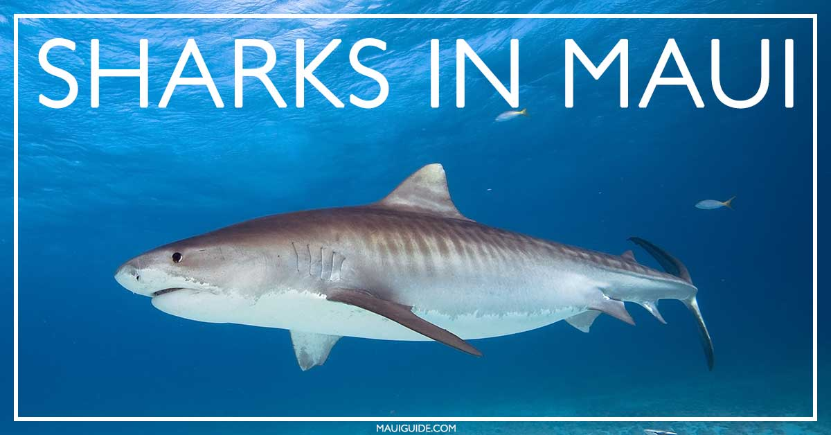 Maui Shark Info | Sharks in Maui, Hawaii | Tiger, Reef, Mako, Bull